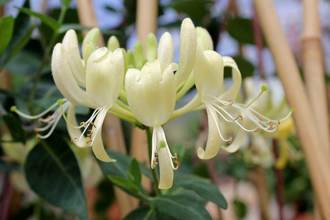 Hanımeli bitkisi