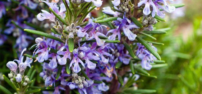 Biberiye çiçeği