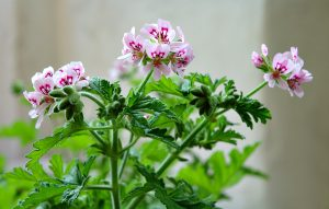 specie di fiori di geranio