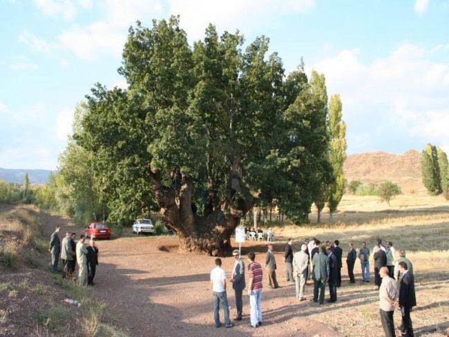çankırı-meşe ağacı
