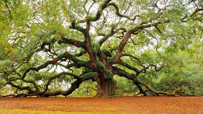 yaşlı meşe ağacı