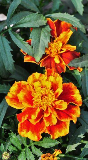 Tagetes patula çiçeği