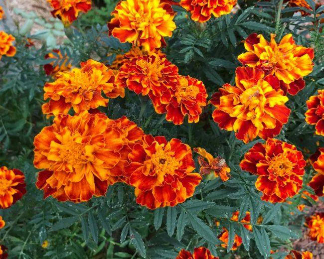 kadife çiçeği hakkında bilgi