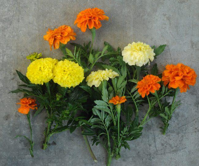 kadife çiçeği yetiştirmek