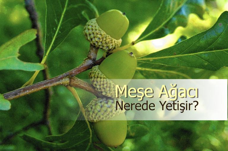 Meşe Ağacı özellikleri Ve Faydaları Nerede Yetişir