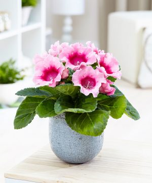 gloksinya çiçeği