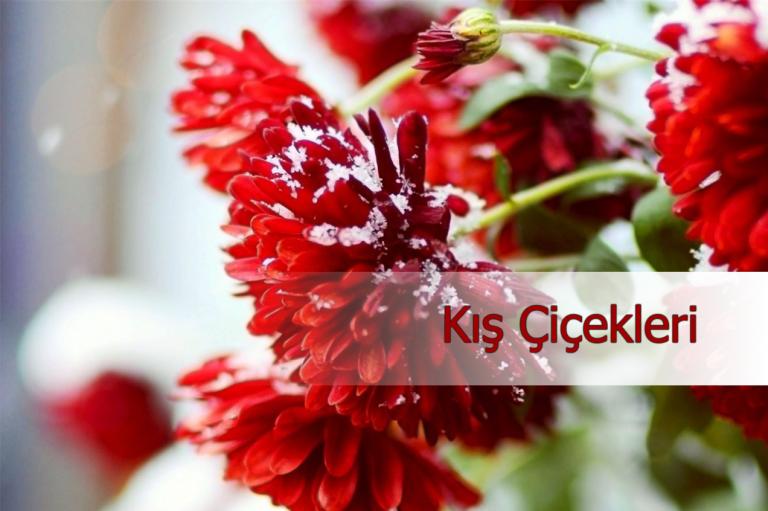 Soğuk Kış Aylarında Renkleri Ile Içimizi Isıtan Kış çiçekleri