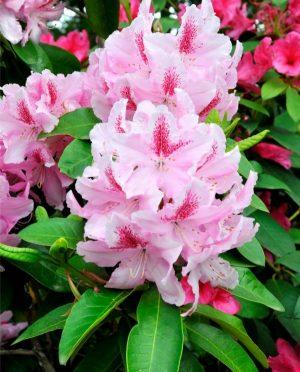 Rhododendron. Büyüyen. Bakım özellikleri