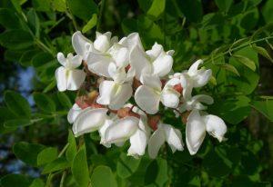 beyaz akasya