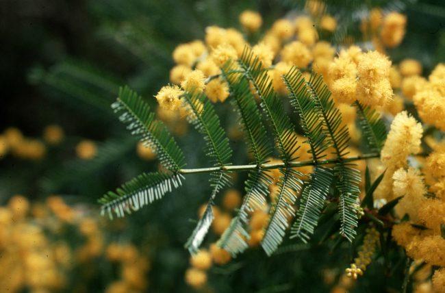 sarı akasya
