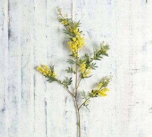 sarı akasya bitkisi