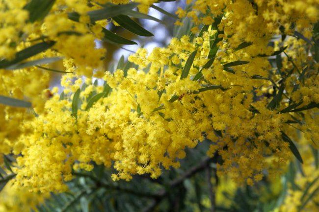 sarı akasya çiçeği
