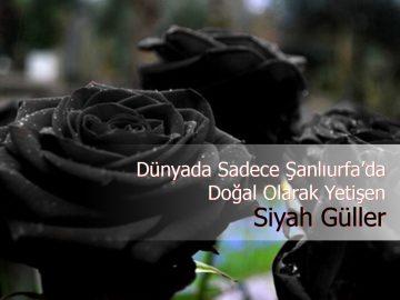 siyah güller