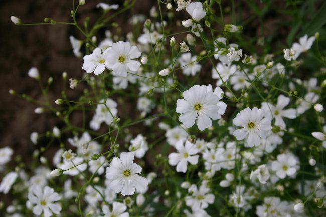 beyaz bahar