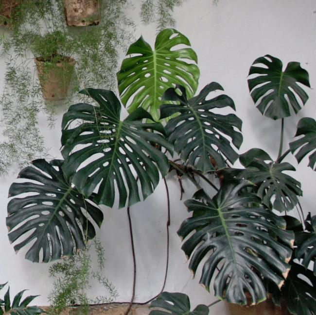 Salonlarin Tropikal Misafiri Deve Tabani Bakimi Ve