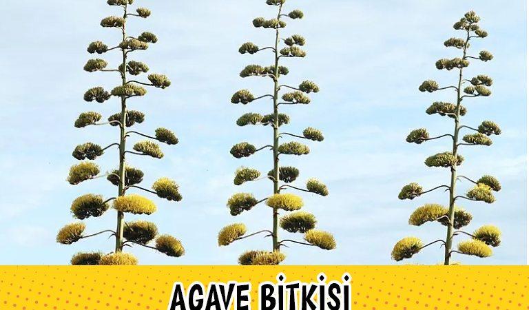 Ömrü Boyunca Sadece Bir Kere Çiçek Açan Bitki: Agave