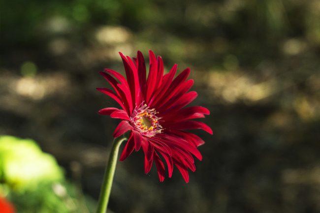 Kırmızı Aster