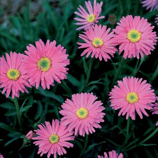 Aster Çiçeği