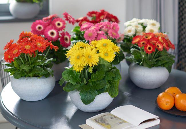 Gerbera çiçeği