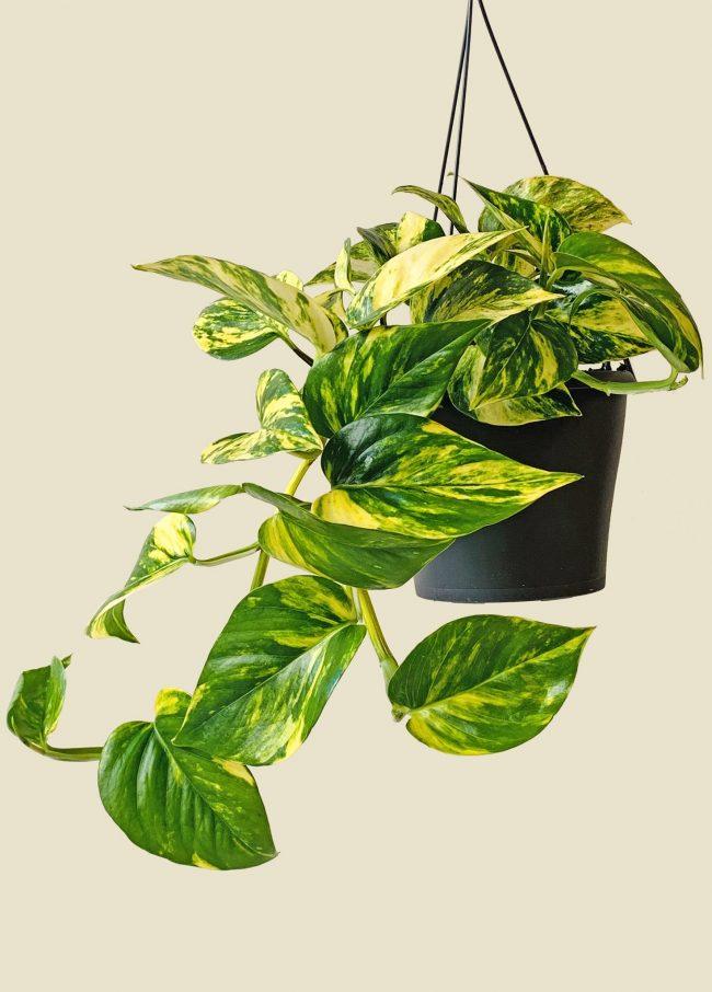 evinizin havasını temizleyecek bitki -salon sarmaşığı