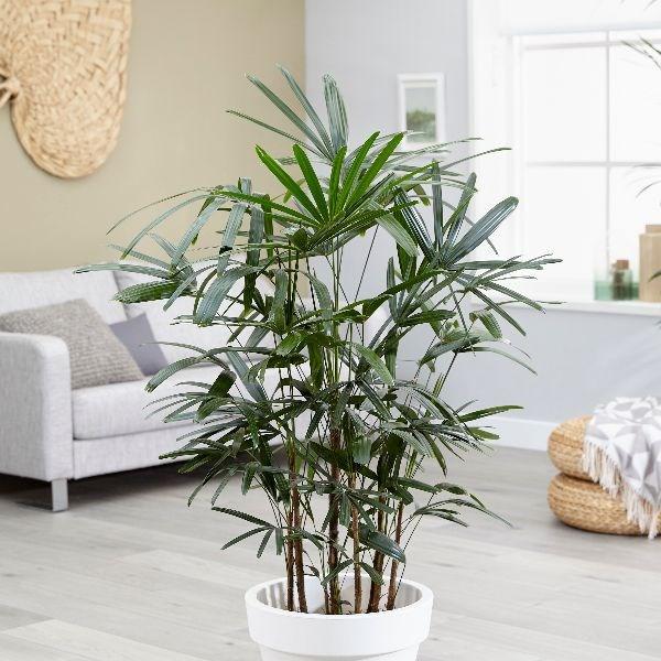 evinizin havasını temizleyecek bitki - Salon palmiyesi