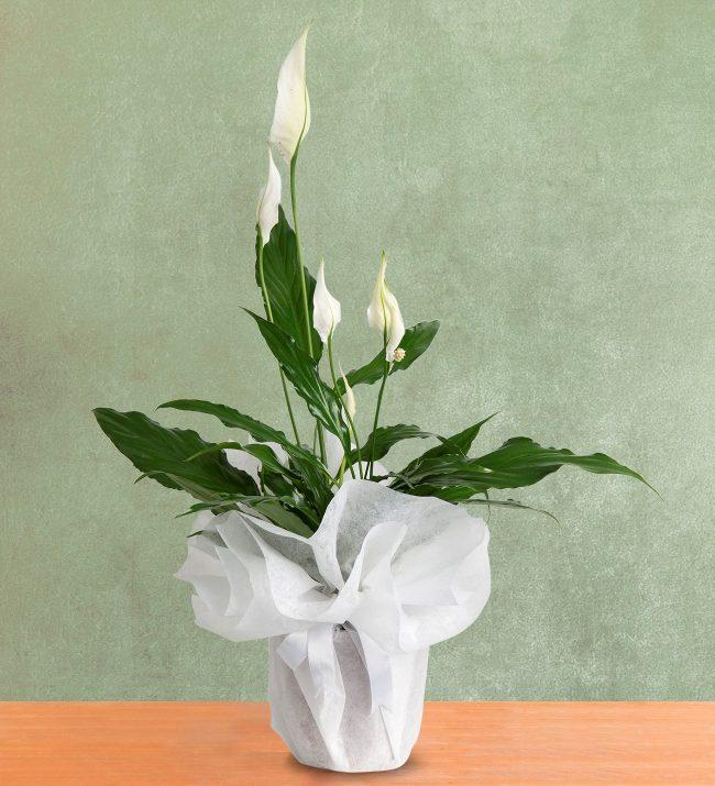 Spathiphyllum/Barış Çiçeği