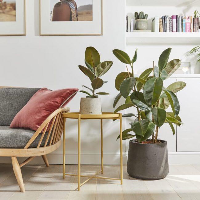 evinizin havasını temizleyecek bitki - Ficus elastica