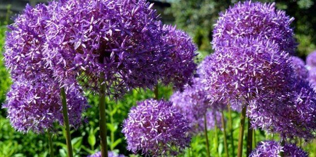 Allium Bitkisi
