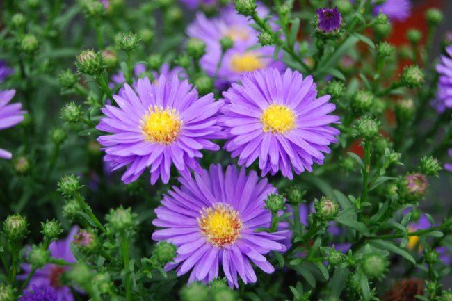 Aster/Yıldızpatı Çiçeği