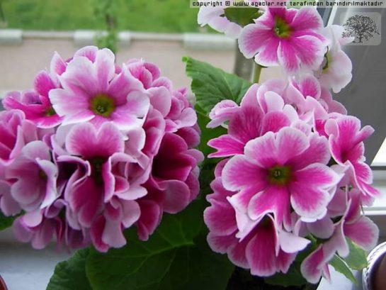 On bir ay çiçeği