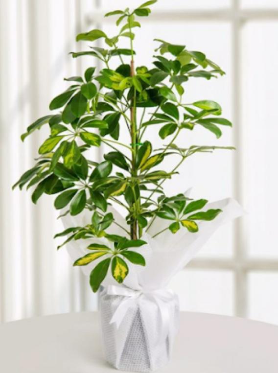 Schefflera Çiçeği