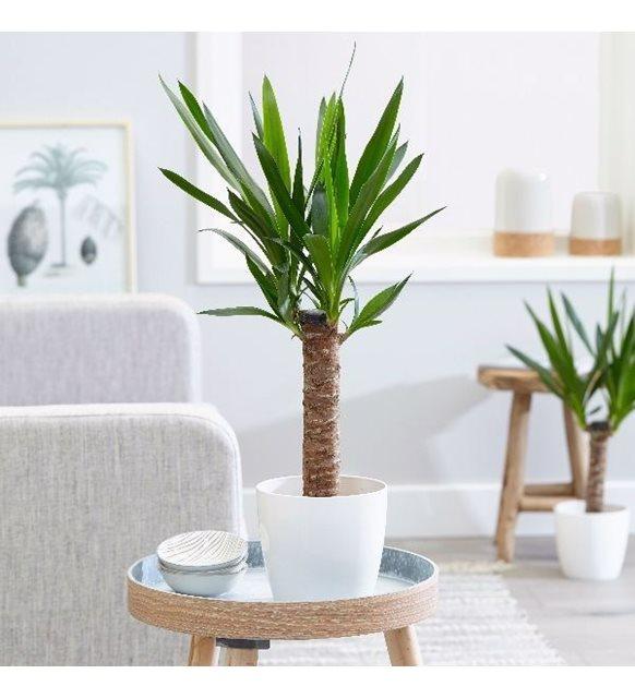 Yukka bitkisi