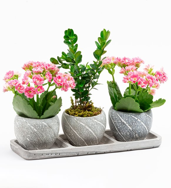 Buxus Bonsai Ve Kalanchoe