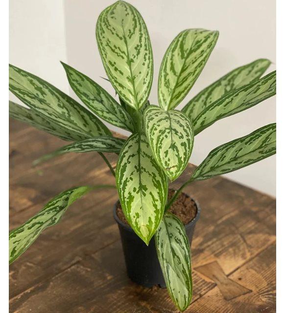 Banyoya uygun bitki - Çin Herdemyeşili