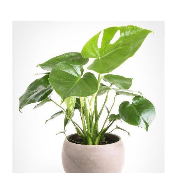 Banyoya uygun bitki - Deve Tabanı