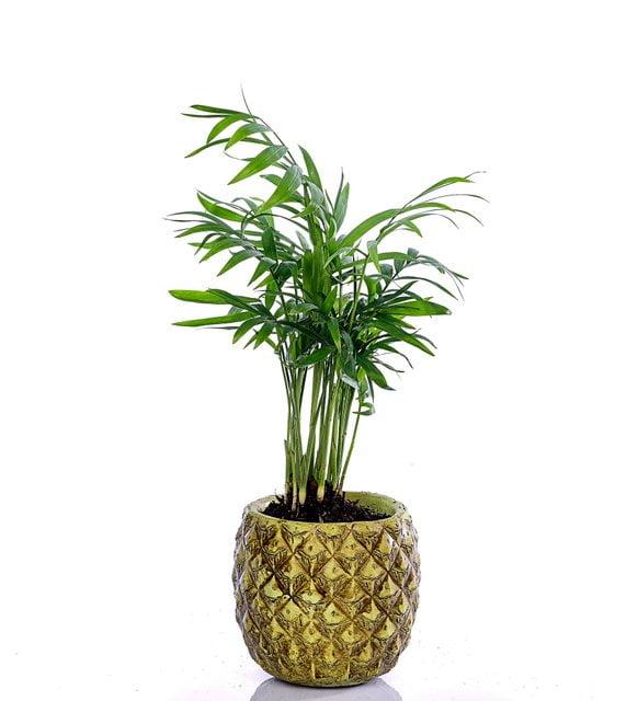Dağ palmiyesi